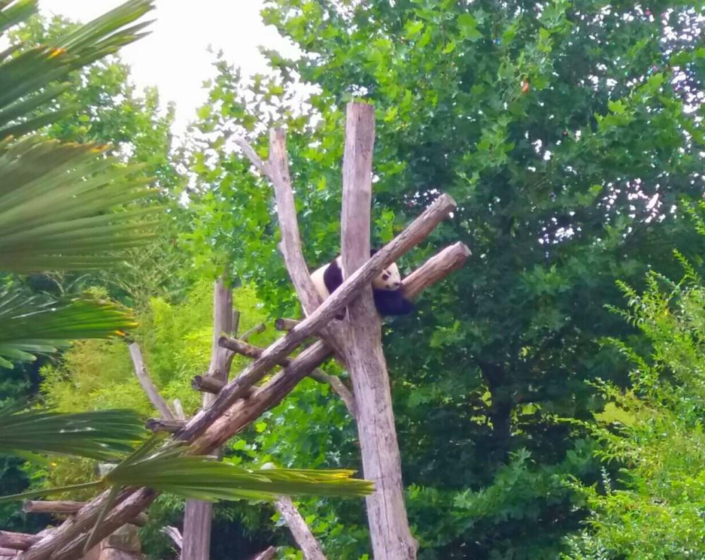 Panda Yuan Zi, zoo de Beauval