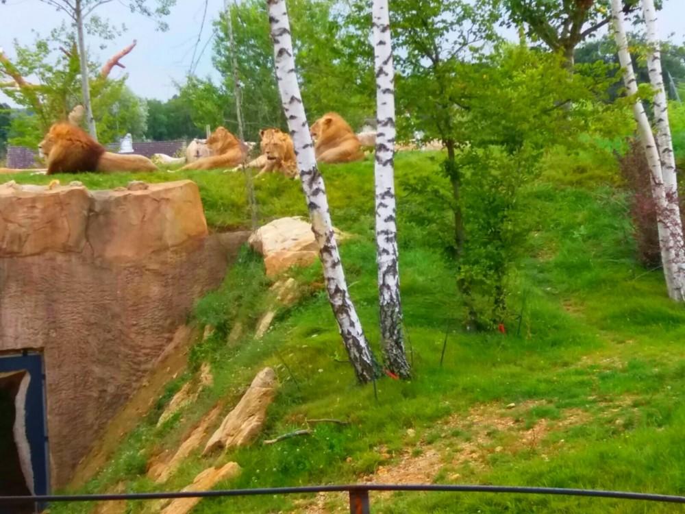 La terre des lions, zoo de Beauval
